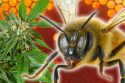 cannabis honey bees